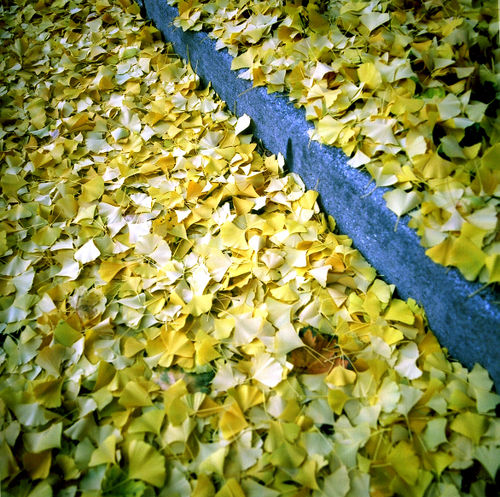 GingkoLeaves_Nov001