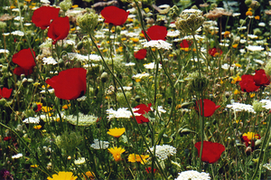 Byblosflowers