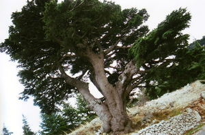 Ancientcedartree