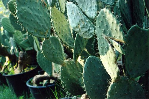 Cactusaub001