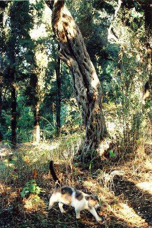 Olivetreeaub002