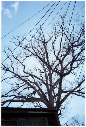 Baltimoretrees006