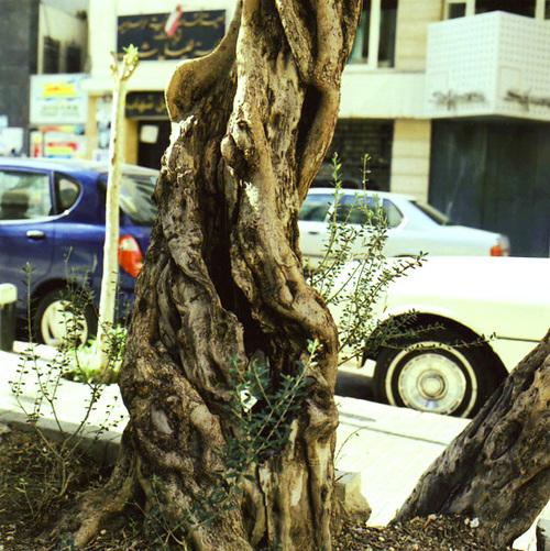 Olivetreedetail